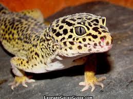 The Herper Reptile And Amphibian Care Leopard Gecko Care