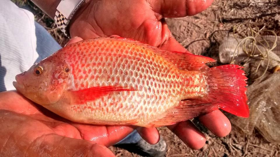 Fundacion cachamoto 07 12 16 for Cria de mojarra roja en estanques