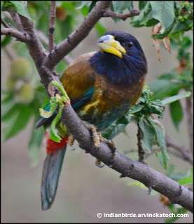 Great Barbet, in Trees