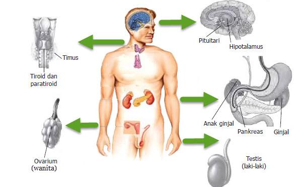 hormon manusia