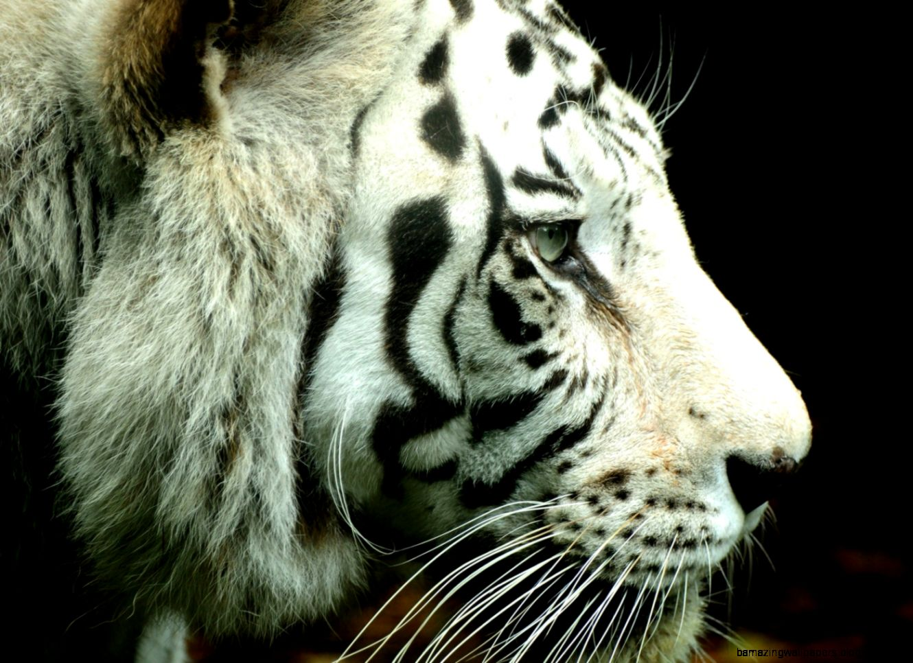 White Tiger Wallpaper Widescreen Amazing Wallpapers