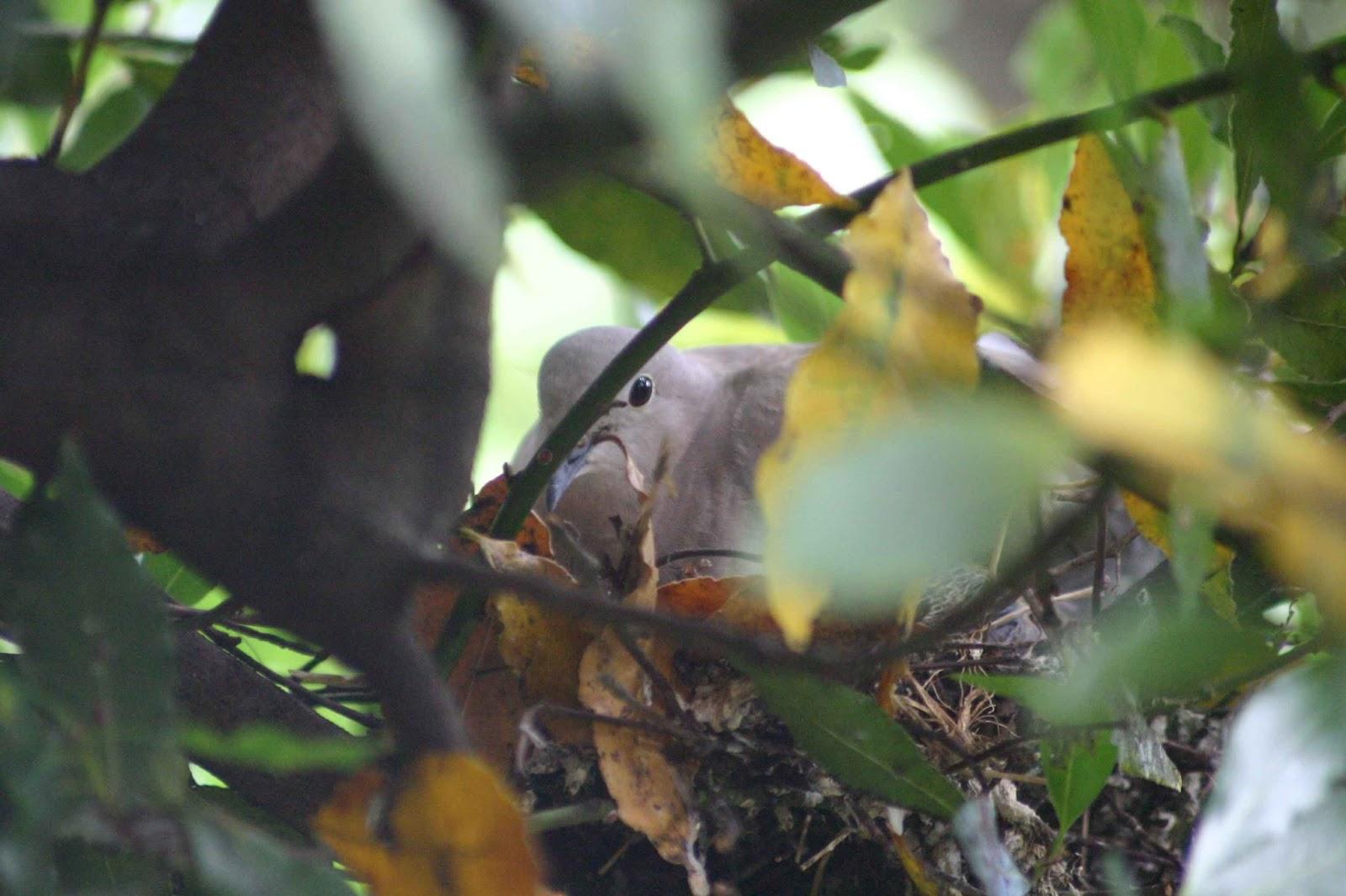 Nido Di Tortore Sul Balcone andarperpensieri: tortore