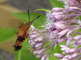 Hemaris thysbe - Sphinx colibri