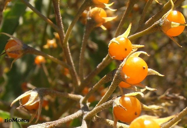 Fruto de NARANJILLO Solanum bonariense
