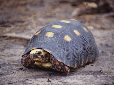 argentinian chaco turtle