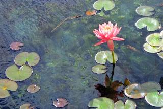 pink lotus art of Dee Rapposelli