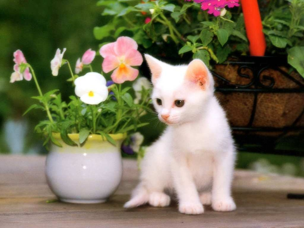 Most Beautiful Animal Cute Cat Wallpapers