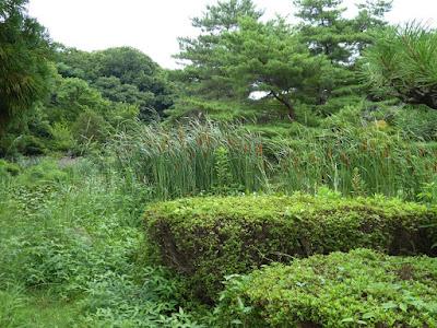 花博記念公園鶴見緑地 日本庭園 睡蓮池のガマ