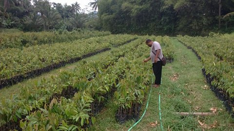 Jual Bibit Durian Musang King 082.137.433.114