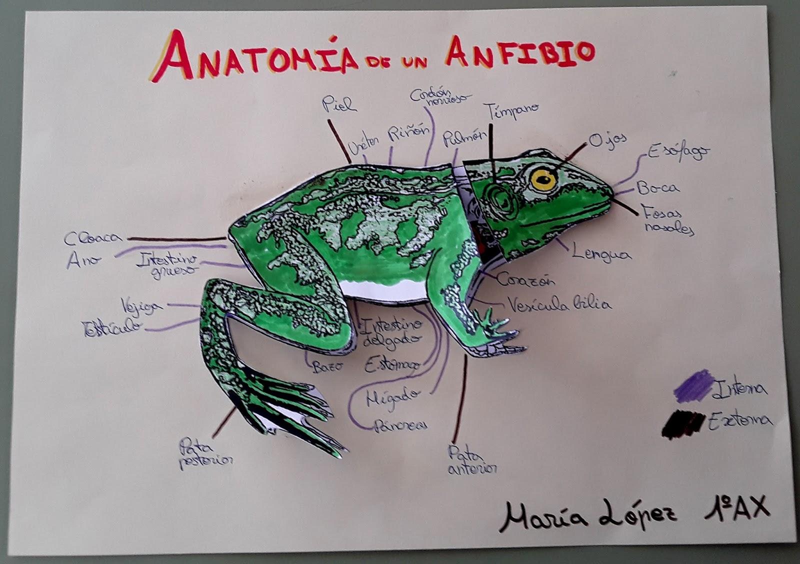 Biología y Geología 1ºESO: ANATOMÍA DE UN ANFÍBIO : EXTERNA e INTERNA
