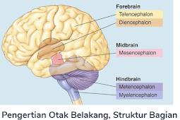 Otak Belakang : Pengertian Beserta Struktur Bagian Dan Fungsi Otak Belakang (Metencephalon) Terlengkap