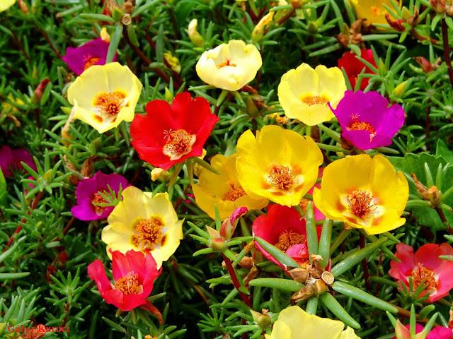 Onze-horas (Portulaca grandiflora) - planta suculenta, de uso ornamental.