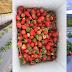 កសិករវ័យក្មេងកម្ពុជា បោះទុន១០ម៉ឺនដុល្លារ ដាំដំណាំ Strawberry នៅទឹកដីខេត្តពោធិ៍សាត់