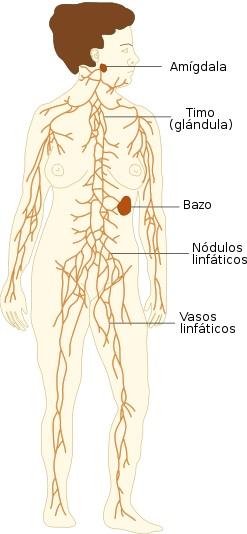 Dibujo del Sistema linfático en el cuerpo humano de una mujer