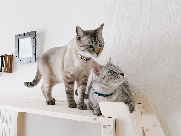 ケージ棚の上にいるシャムトラ猫とサバトラ猫その1