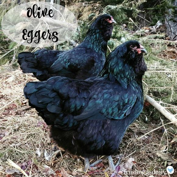 Black Marans X Ameraucana Olive Egger F1 Chicken Hatching Eggs, 6