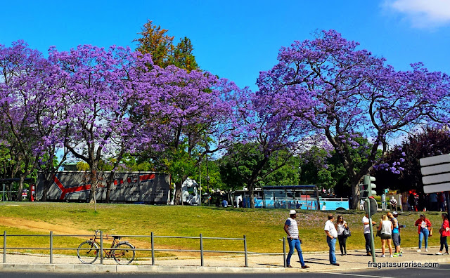 Jacarandás em flor, Lisboa, Portugal