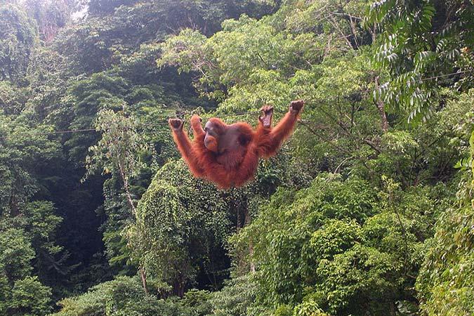 Penelitian Spontaneous Innovation of Hook-bending and Unbending in Orangutans (Pongo abelii)