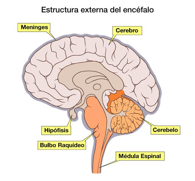 Anatomía aplicada, Carmen: DISECCIÓN DEL ENCÉFALO 23-05-2017