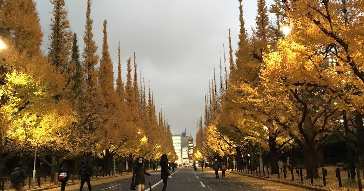 東京銀杏| 黃色絨毯神宮外苑銀杏並木 Gingko in Tokyo