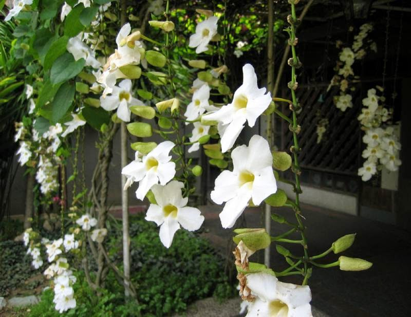 Jual tanaman rambat berbunga (Thunbergia grandiflora) | aneka tanaman rambat bunga untuk peneduh | supplier tanaman hias dan rumput taman