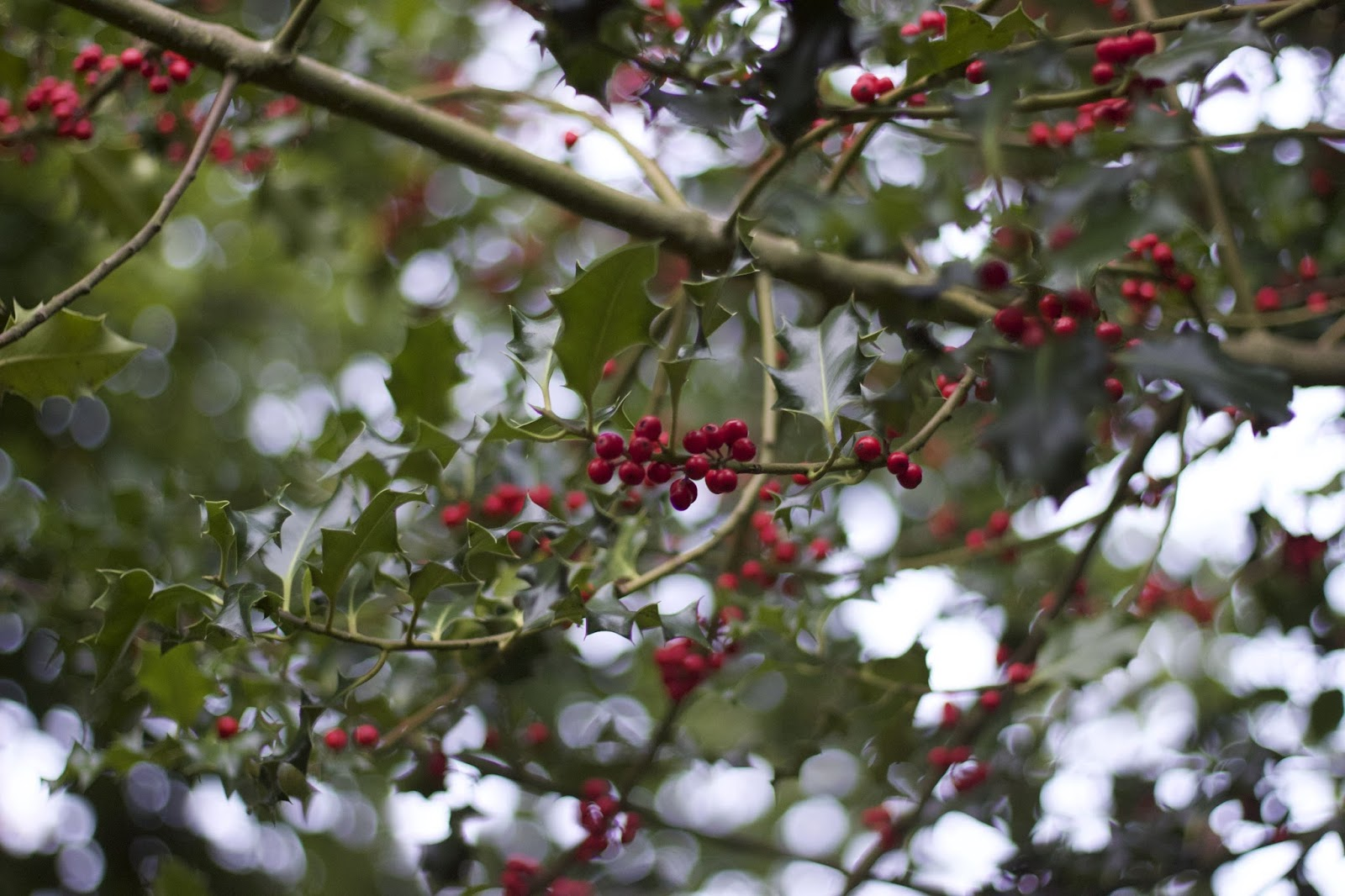 Holly, Berries, Autumn, Belper, Katie Writes, Blog, Lifestyle Bloggers UK, Seasons,
