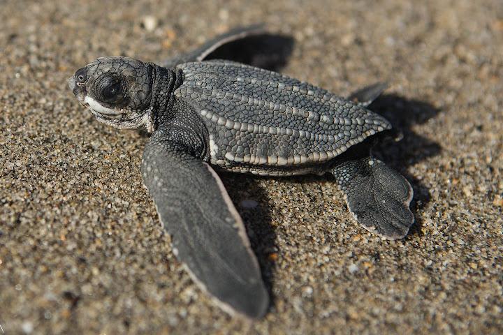 ВТаиланде выставили охрану вокруг кладки яиц редкой кожистой черепахи