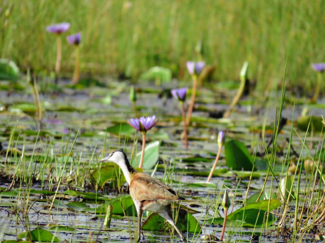 African Jacana on Mabamba Swamp in Uganda