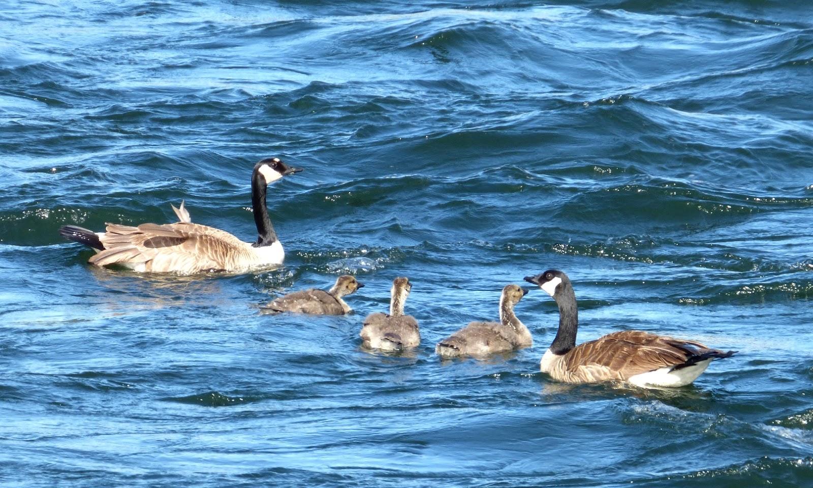 Canada Goose vest outlet store - Geotripper's California Birds: Canada Goose Family in Tuolumne ...