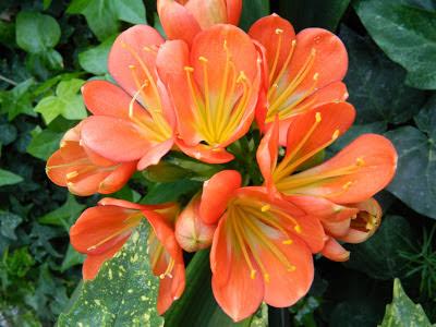 Clivia miniata bloom Allan Gardens Conservatory by garden muses: a Toronto gardening blog