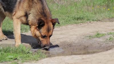 perro bebiendo agua del charco
