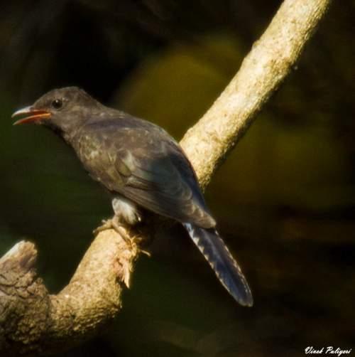 Birds of India - Photo of Grey-bellied cuckoo - Cacomantis passerinus