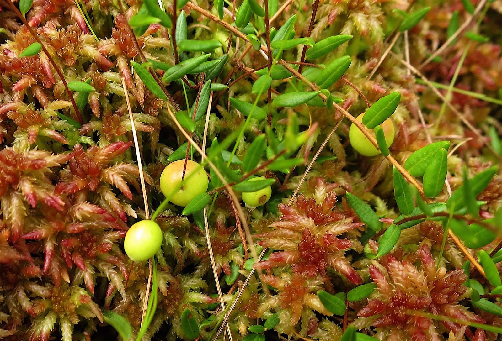 Saratoga woods and waterways: Blooms on the Bog, Bugs in the Blooms