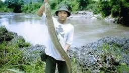Ikan Sidat mempunyai karakteristik habitat  Kabar Terbaru- IKAN SIDAT SI KARNIVORA TANGGUH