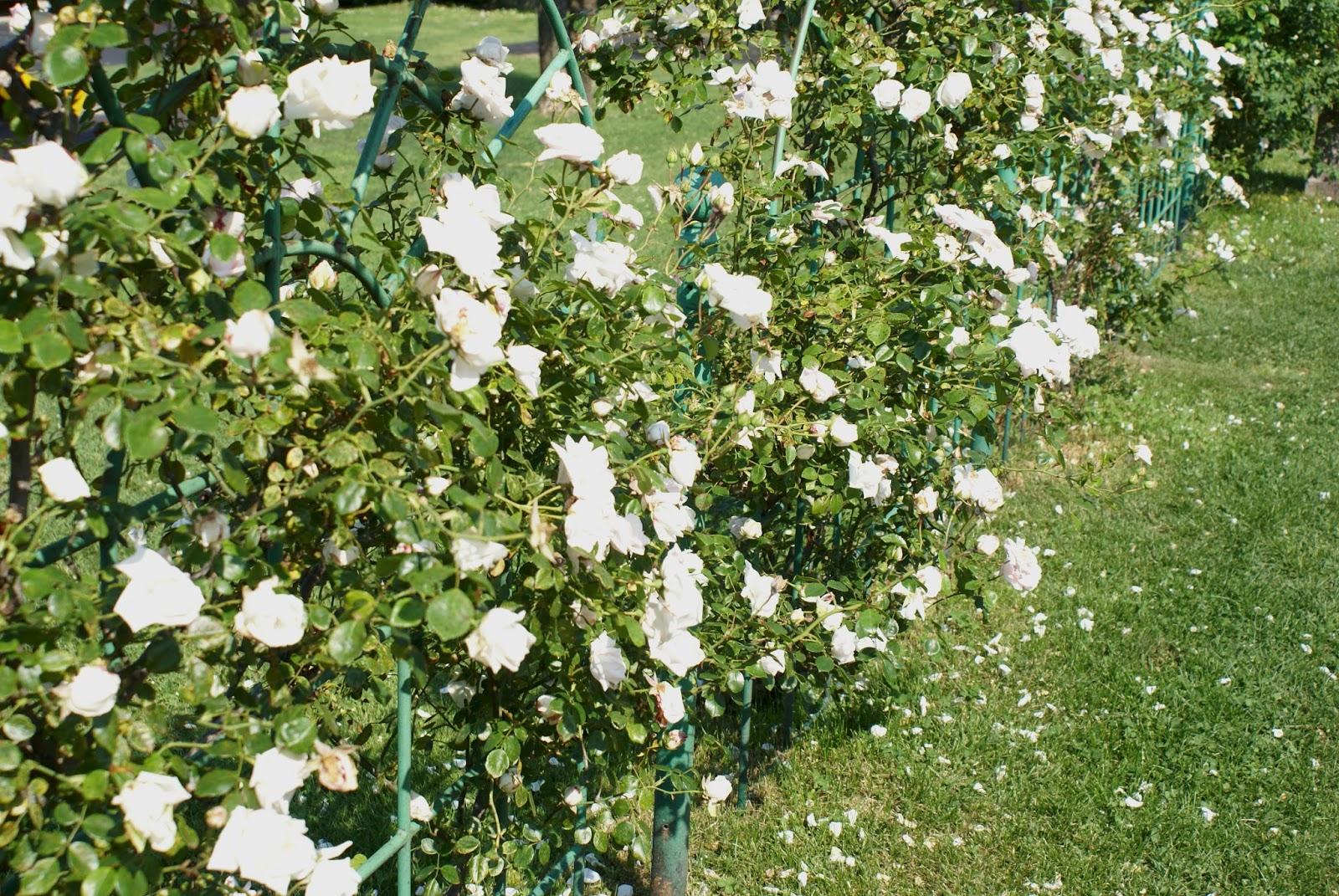 roses stresa italia italy piemonte lago maggiore