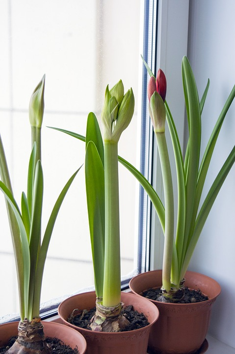 Make DIY Indoor Plant Fertilizer and Recycle Indoor amaryllis plants