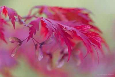 Japanischer Ahorn, Blätter mit roter Herbstfärbung, Renate Waas Gartenplanung
