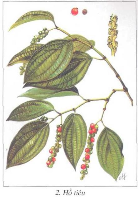 Hạt Tiêu - Hồ Tiêu - Piper nigrum - Nguyên liệu làm thuốc Chữa Bệnh Tiêu Hóa