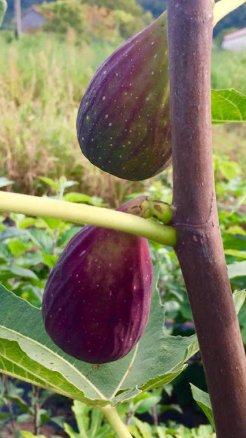TORQUIE 2 Figs