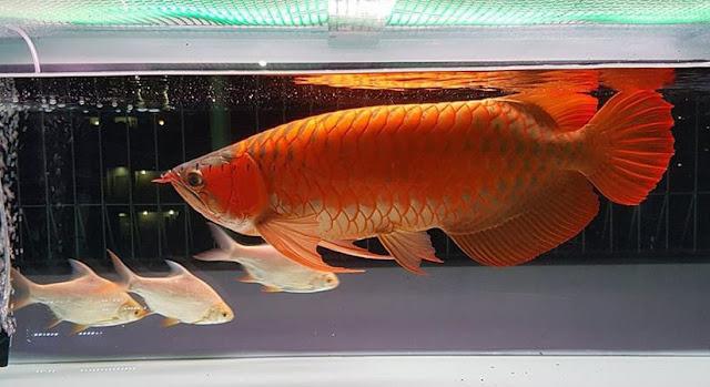 Klasifikasi dan Morfologi Ikan Hias Arwana