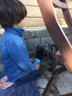 dark-haired boy, age 3, holds blue puppy kong up to small brindle mastiff puppy