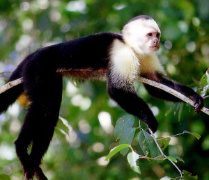 Manuel Antonio White face monkey