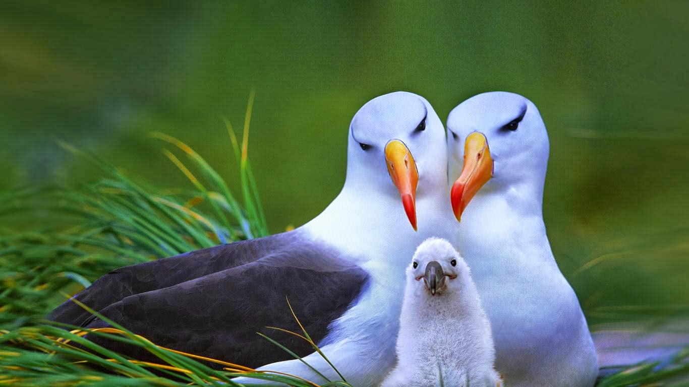 Albatross Birds ...10 Interesting Albatross Facts For Kids