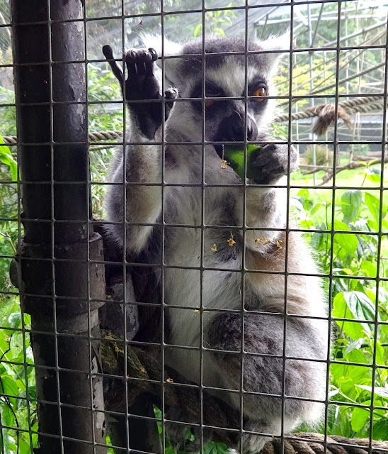 cuteness_ Ring-Tailed Lemur