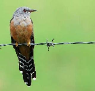 Jenis Burung Wiwik Kelabu