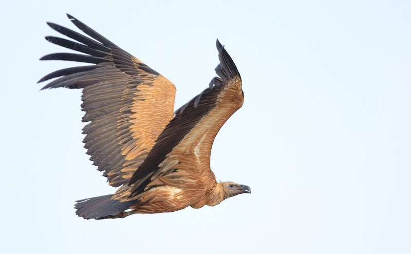 abutre-de-bico-longo