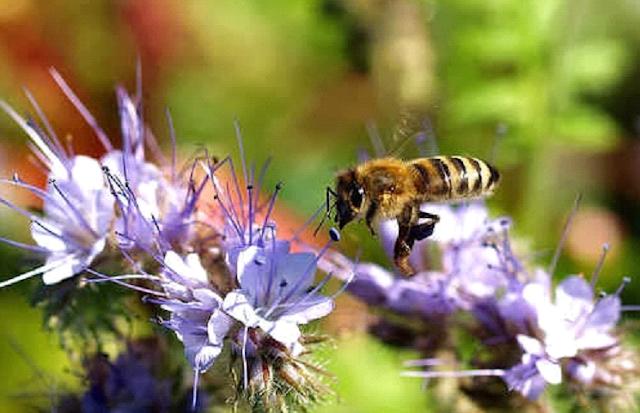 Η καλλιέργεια της φακελωτής και η απόδοση σε μέλι ανά στρέμμα!