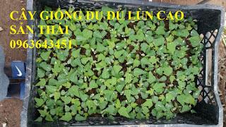 Cung cấp cây giống, hạt giống đu đủ lùn cao sản Thái Lan, đu đủ vàng lùn cảnh tím, đu đủ lùn da xanh