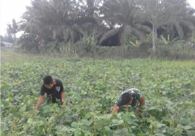 Pembersihan Rumput di Lahan Tanaman Kacang Kedelai Didampingi Serda Jumino