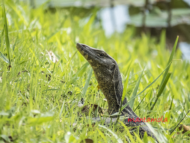 Malayan Water Monitor Lizard